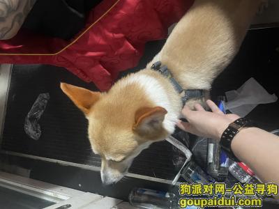 【温州捡到狗】,瑞安安阳菜市场附近捡到一条柯基犬,它是一只非常可爱的宠物狗狗,希望它早日回家,不要变成流浪狗。