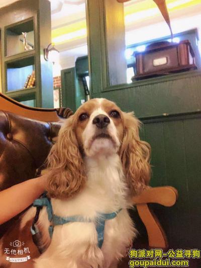 合肥寻狗,寻找生命垂危的可卡犬,它是一只非常可爱的宠物狗狗,希望它早日回家,不要变成流浪狗。