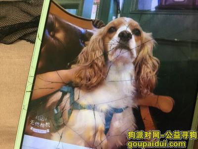 合肥找狗,合肥找走失的狗可卡犬,它是一只非常可爱的宠物狗狗,希望它早日回家,不要变成流浪狗。