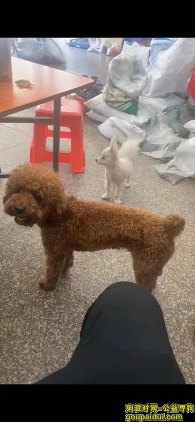 寻狗网,福建晋江市中兴街福祥大厦寻找泰迪,它是一只非常可爱的狗狗,希望狗狗早日回家,不要变成流浪狗。